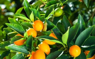 The Snippet: Geneticists enlist engineered virus and CRISPR to battle citrus disease